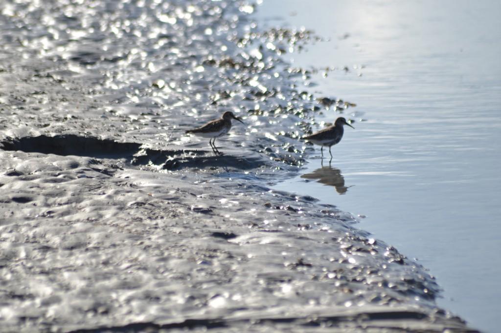 Plus de 300 espèces d'oiseaux ont étés observées en baie de Somme