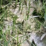 Salicorne de la baie de Somme